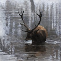 Stag wading with reflections
