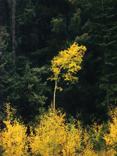 Aspen Against Evergreens - photo