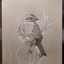 Draw a Bird Day - Savannah Sparrow